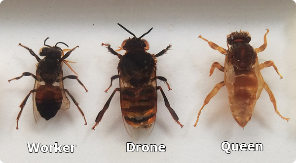 Worker, Drone and Queen Bee