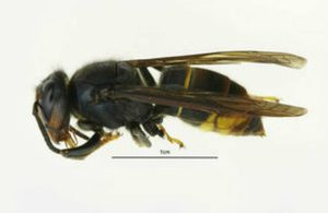 Single Asian hornet in Lancashire